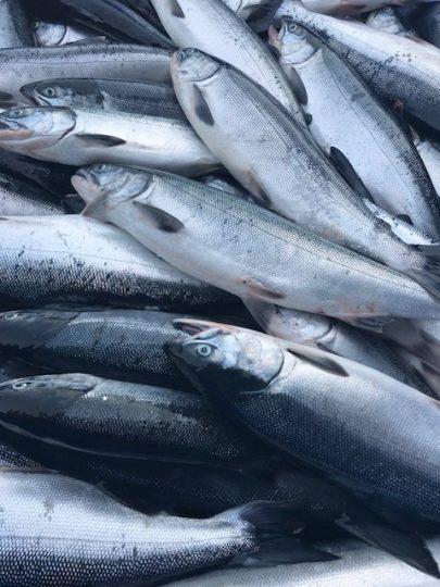 A pile of sockeye salmon.