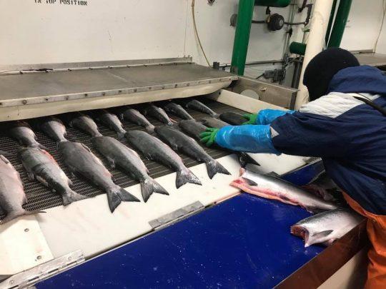 A worker loads fish into a belt freezer at BCS.