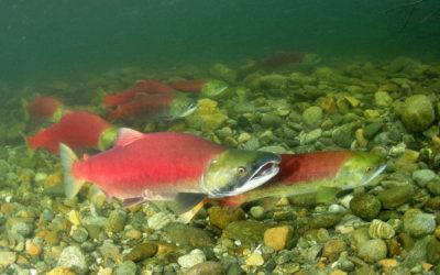 Alaskan Sockeye Salmon Catches Break Records